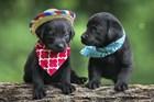 Black Lab Pups 5 by Jonathan Ross art print