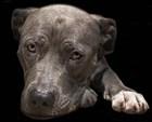 Pit Bull Terrier by Lori Hutchison art print
