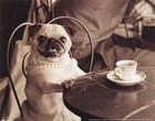 Cafe Pug by Jim Dratfield art print