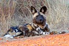 South Africa, Madikwe Game Reserve, African Wild Dog by Kymri Wilt / Danita Delimont art print