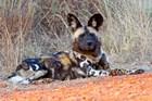 South Africa, Madikwe Game Reserve, African Wild Dog by Kymri Wilt / Danita Delimont art print
