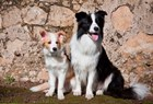 An adult Border Collie dog with puppy by Zandria Muench Beraldo / Danita Delimont art print