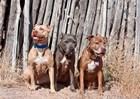 American Pitt Bull Terrier dogs, NM by Zandria Muench Beraldo / Danita Delimont art print