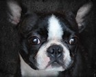 Boston Terrier Portrait by Jai Johnson art print