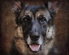 German Shepherd Face by Jai Johnson art print