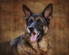 German Shepherd by Jai Johnson art print