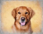 Young Golden Retriever Portrait by Jai Johnson art print