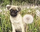 Pug with Dandelion by Liz Zernich art print
