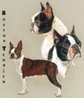 Boston Terrier by Barbara Keith art print