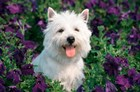 West Highland Terrier Sitting In Petunias by Vintage PI art print