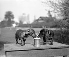 1890S Two Dachshund Puppies by Vintage PI art print