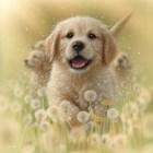 Golden Retriever Puppy - Dandelions - Square by Collin Bogle art print