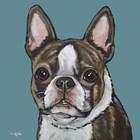 Sasha Boston Terrier On Teal by Hippie Hound Studios art print